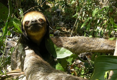 Pale-Throated Three-Toed Sloth (Bradypus tridactylus)© Aurelie Dourdain, UMR Ecofog